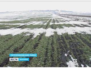 Озимые в южных районах области оказались беззащитны перед морозами