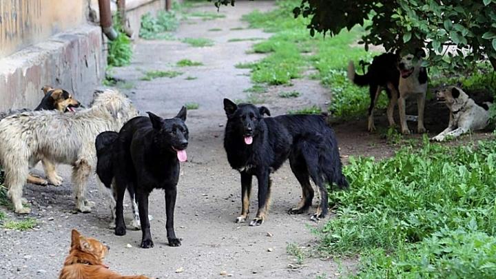 Жительница Воронежа пожаловалась на ежедневно гуляющую во дворе стаю из 25 собак