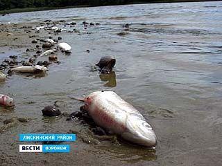 """""""Песковатское озеро"""" в Лискинском районе превратилось в рыбное кладбище"""