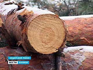 Под прикрытием программы по ликвидации сгоревших деревьев вырубают здоровые сосны