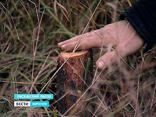 Подготовка к Новому году в промышленном масштабе - пострадали 500 сосен