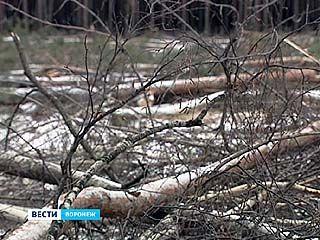 Проводится проверка по факту вырубки более двух тысяч сосен и берез в районе Сомово