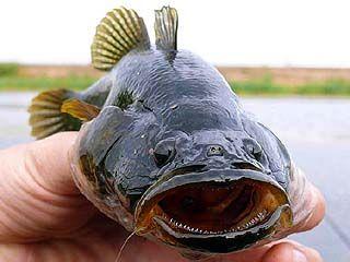 """Рыбка ротан с """"соседями"""" не церемонится"""
