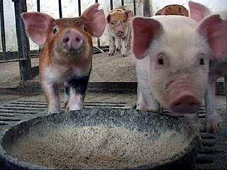 Селянам запретили резать свиней в своих дворах