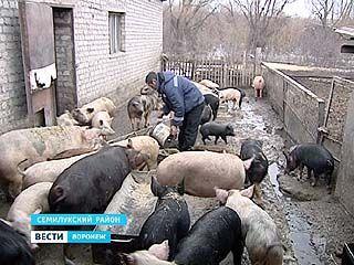 Семилукские свиноводы получили распоряжение ветслужбы - помещения довести до нужного уровня биологической защиты