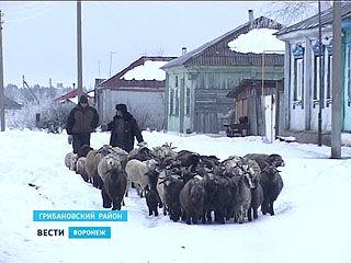 Семья из села Алабухи вынуждена по сугробам гонять стадо овец на выпас