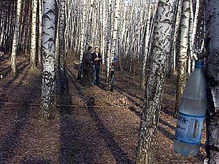 Собиратели березового сока наносят вред природе