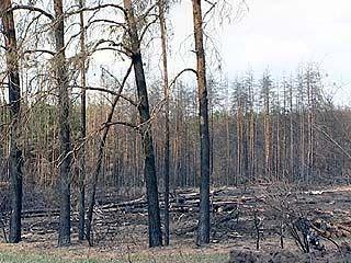 Сосны спасли Воронеж от песков, но не устояли против огня
