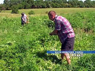 Сотрудники РОВД Калачеевского района обнаружили плантацию конопли