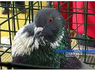 Традиционная выставка-ярмарка голубей прошла в Калаче