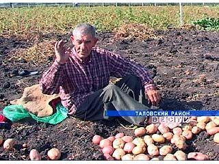 У Вениамина Бочарникова растет 26 сортов картофеля