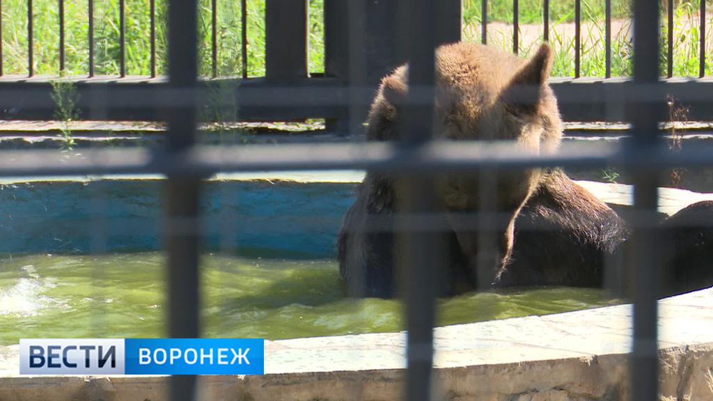 Медведей Воронежского зоопарка из-за жары стали кормить мороженым из фруктов