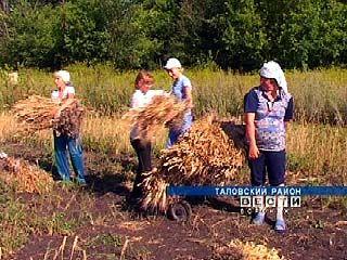 Ученые Таловой собирают урожай новых сортов пшеницы