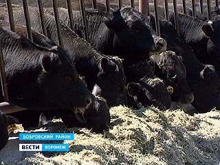 В Бобровском районе стартовал проект по разведению племенного крупного рогатого скота