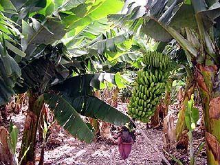В ботаническом саду ВГУ завязались бананы