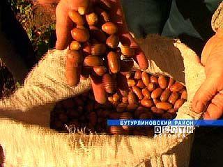 В Бутурлиновском районе можно заработать на желудях