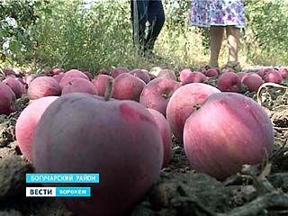 В этом году урожай яблок порадовал жителей южных районов Воронежской области
