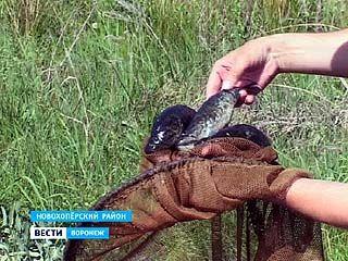 В этом году в водоёмах Воронежской области ратана поубавилось