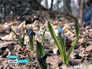 В лесах Калачеевского района распускаются весенние первоцветы