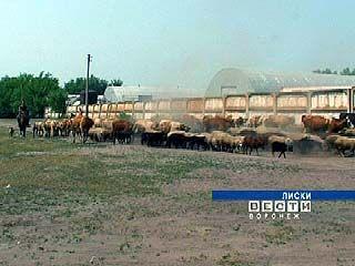 В Лисках во дворе многоквартирного дома расположилась ферма