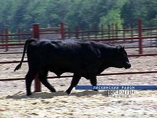 В Лискинском районе собираются разводить племенных быков