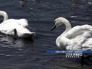 В Марьевке дикие лебеди стали домашними