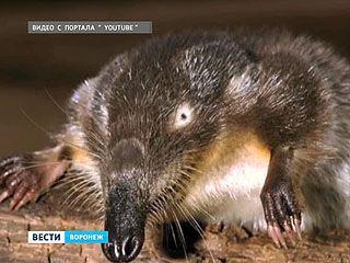 В Новохопёрском заповеднике считают, сколько осталось выхухолей