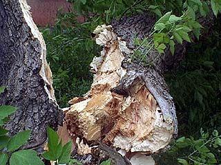 В Отрожке падение тополя едва не привело к трагедии