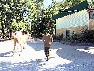 В Парке авиастроителей каждый день выгуливают верблюда