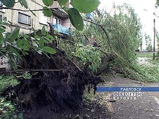 В Павловске несколько десятков деревьев вырвано с корнем