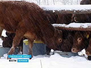 """В Павловском районе """"лимузин"""" теперь не редкость"""