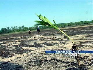 В Павловском районе внезапные ливни поставили под вопрос будущий урожай