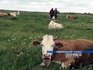 В Поворино животноводство как вид деятельности вымирает