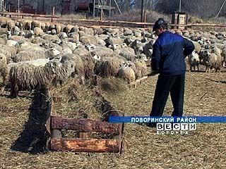 В Поворинском районе организовали овцеводческую ферму