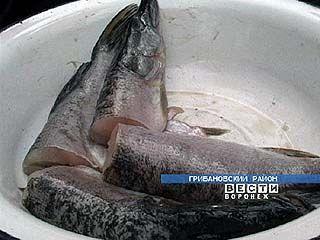 В прудах Грибановского района замечена необычная рыба