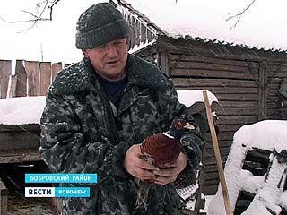 В селе Верхний Икорец Бобровского района поселился настоящий фазан