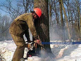 В Шиповом лесу выпиливали вековые дубы