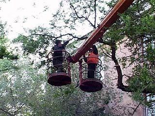 В Таловой планируется спилить 50 тополей