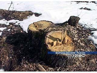 В Воробьевском районе неизвестные вырубили вековые дубы