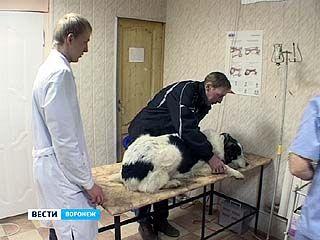 В Воронеж вернулась редчайшая болезнь - дирофиляриоз