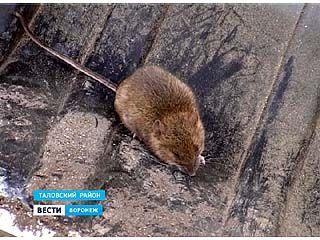 В Воронежском регионе настоящее нашествие мышей