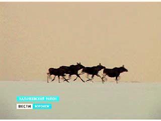 В Воронежском регионе подходит к концу всеобщая перепись копытных