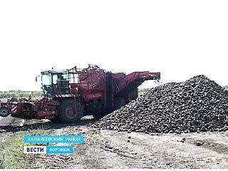 В Воронежской области приступили к уборке сахарной свеклы