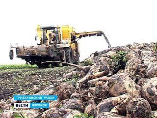 В Воронежской области собирают рекордные урожаи сахарной свёклы