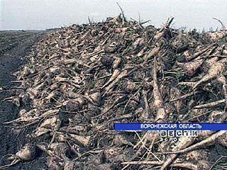 В Воронежской области убирают сахарную свеклу