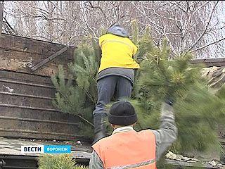 Воронежская мэрия начала закрывать незаконные ёлочные базары