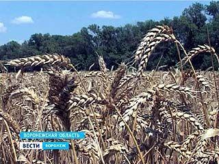 Воронежские аграрии намолотили первый миллион тонн зерновых