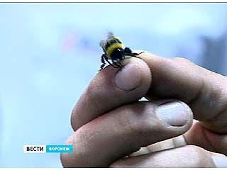 Воронежские ученые хотят сделать выращивание шмелей более доступным