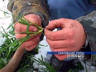 Воронежские земледельцы бояться сглазить всходы озимых