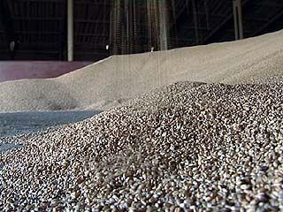 Воронежским аграриям запретят использовать семена ниже третьей категории